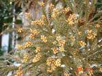 杉花粉の素034