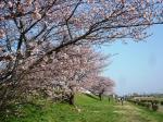 桜満開 017