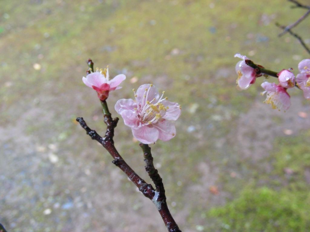 御所桃、宇多野桜、太秦 226