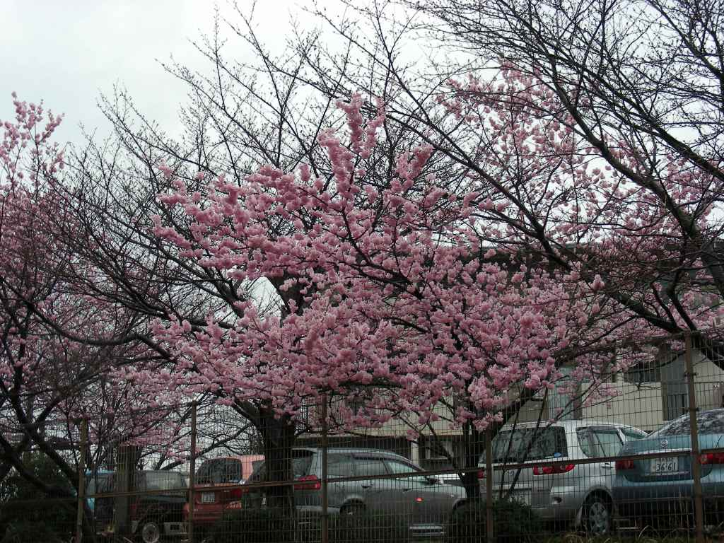 御所桃、宇多野桜、太秦 171