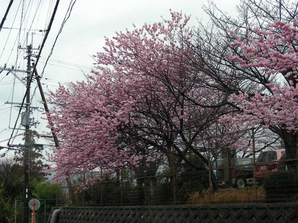 御所桃、宇多野桜、太秦 172