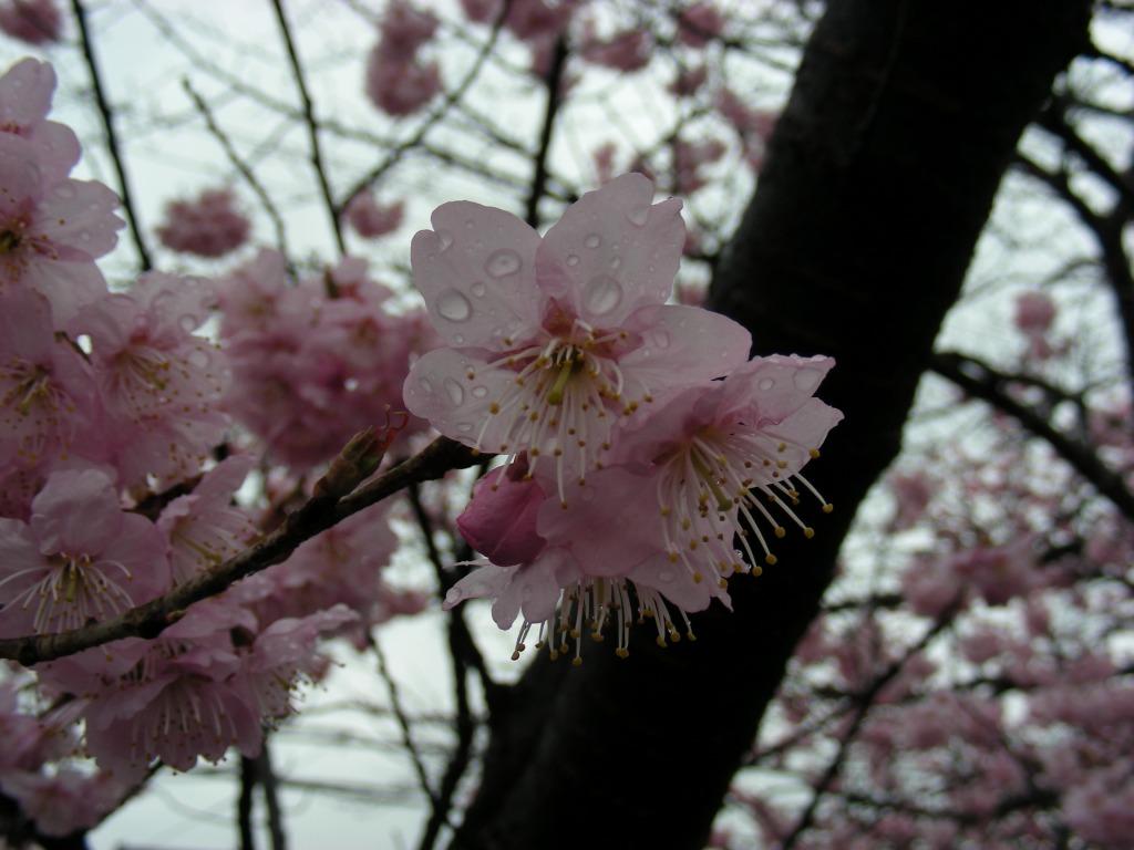 御所桃、宇多野桜、太秦 155