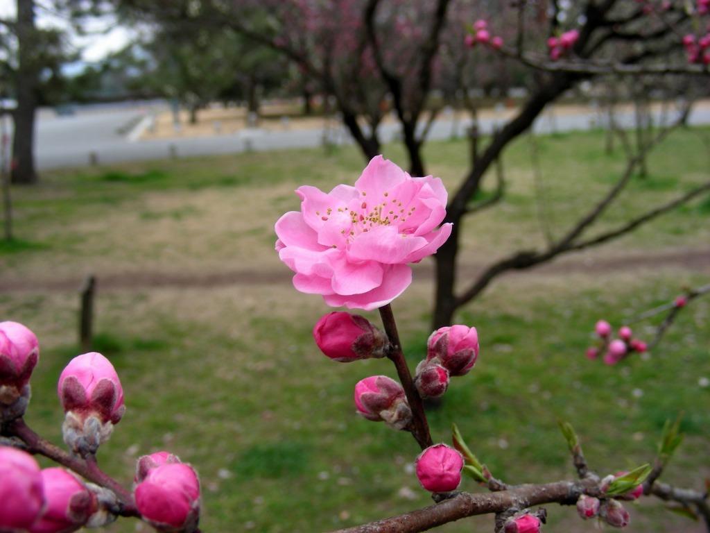 御所桃、宇多野桜、太秦 137