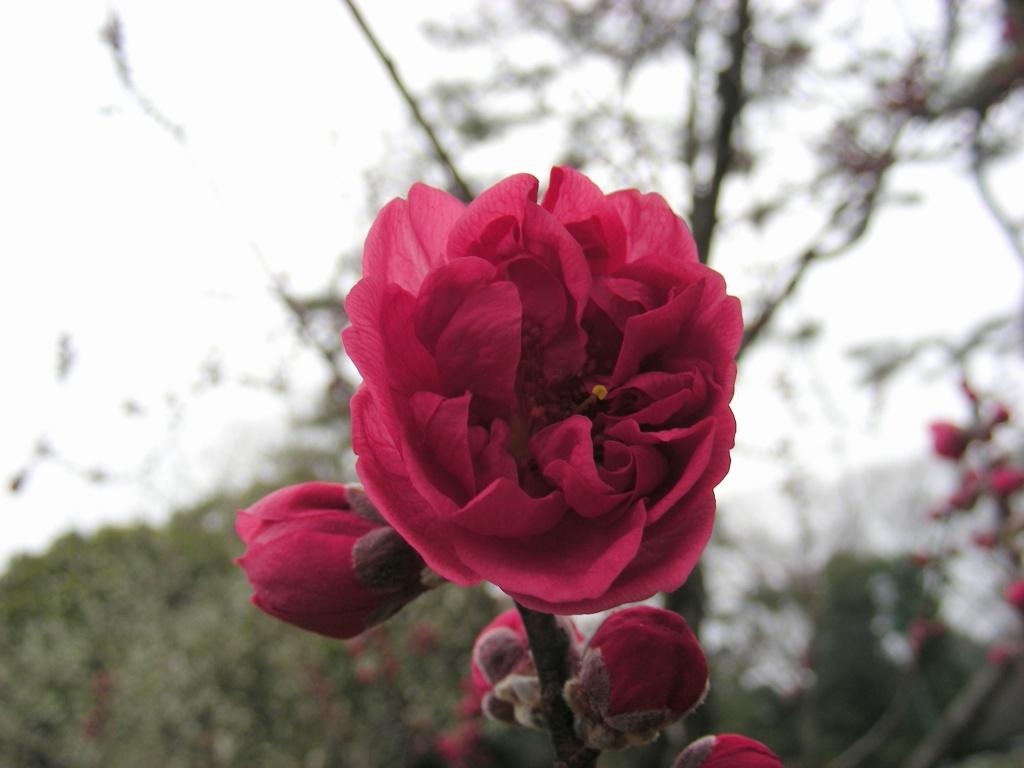 御所桃、宇多野桜、太秦 120
