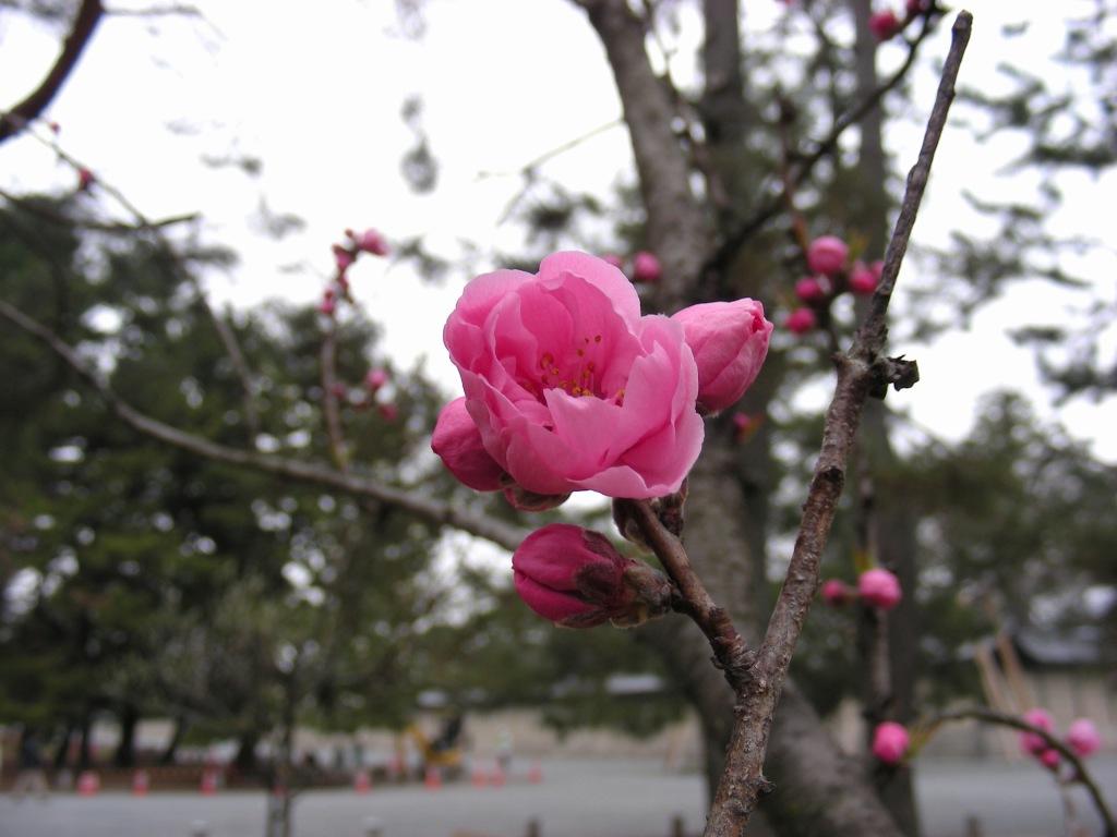 御所桃、宇多野桜、太秦 140
