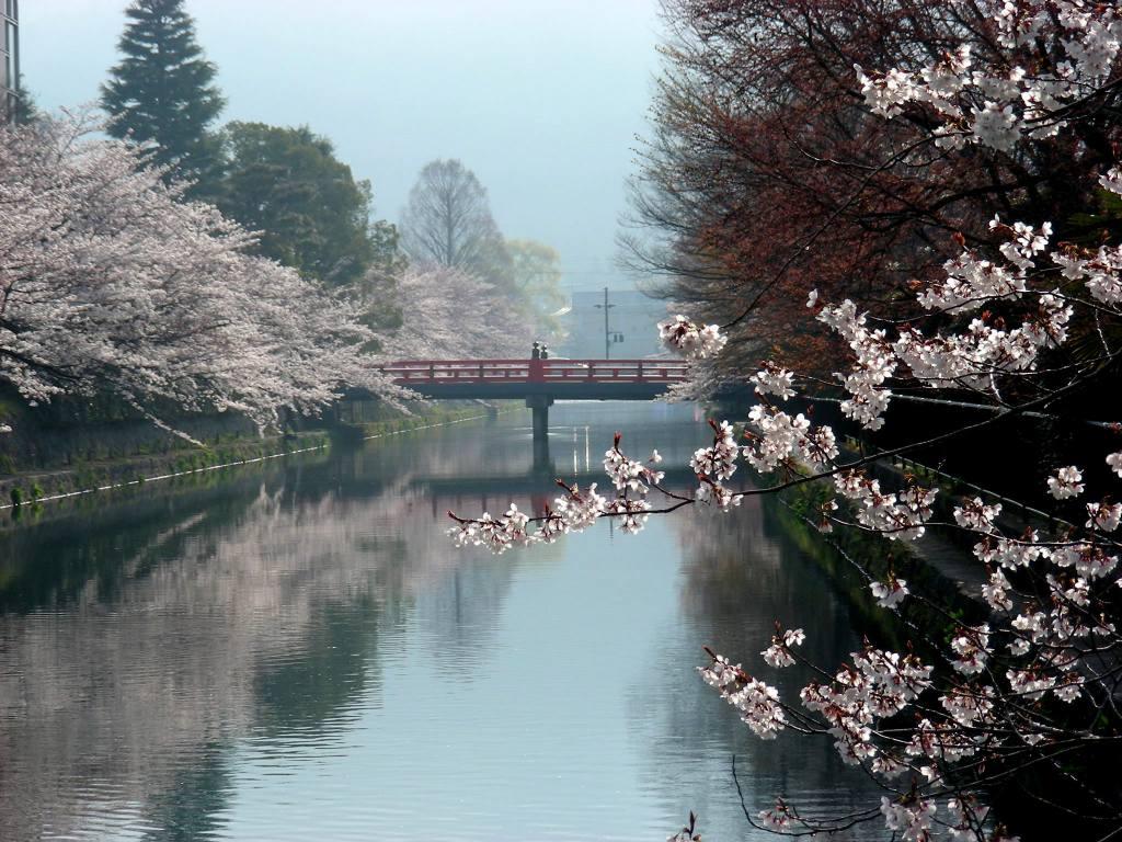 疎水・松ヶ崎・船岡・鳴滝桜 007