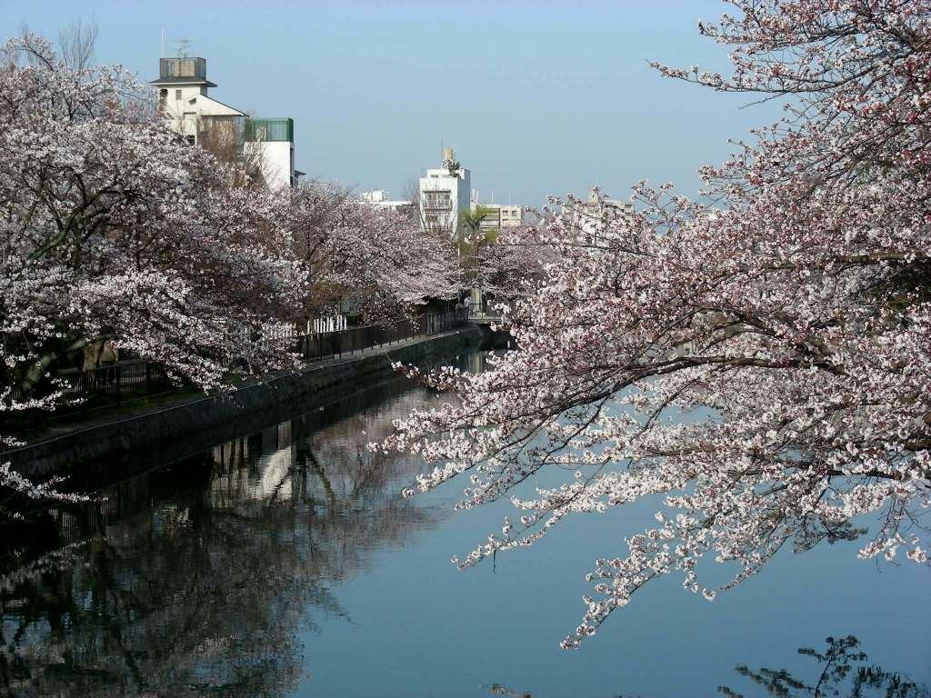 疎水・松ヶ崎・船岡・鳴滝桜 035