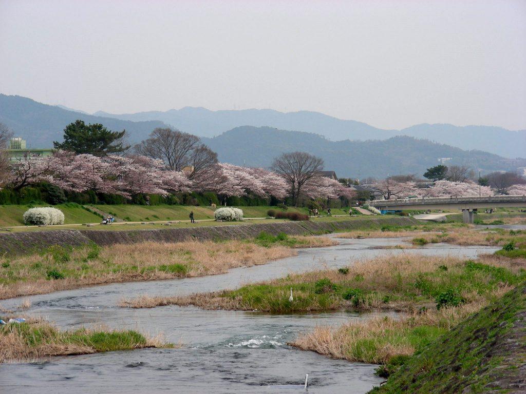 疎水・松ヶ崎・船岡・鳴滝桜 180