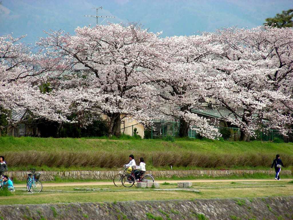 疎水・松ヶ崎・船岡・鳴滝桜 181