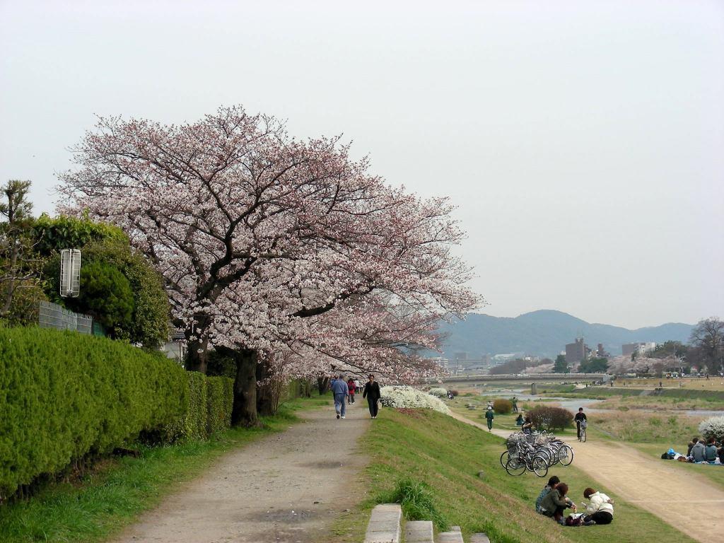 疎水・松ヶ崎・船岡・鳴滝桜 187