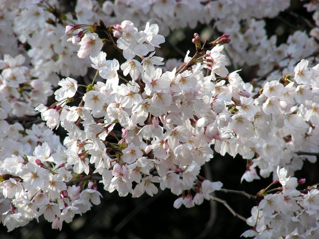 疎水・松ヶ崎・船岡・鳴滝桜 087