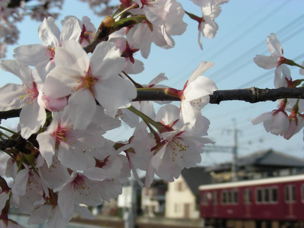 桜・円山、真如、哲学 007