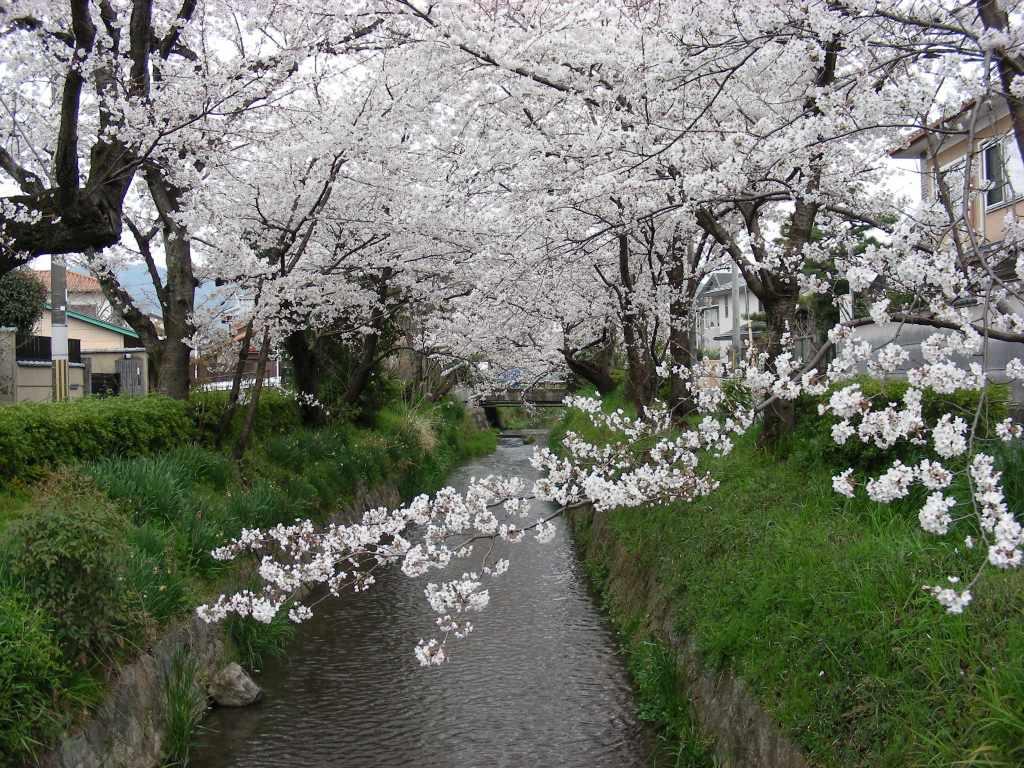 疎水・松ヶ崎・船岡・鳴滝桜 226