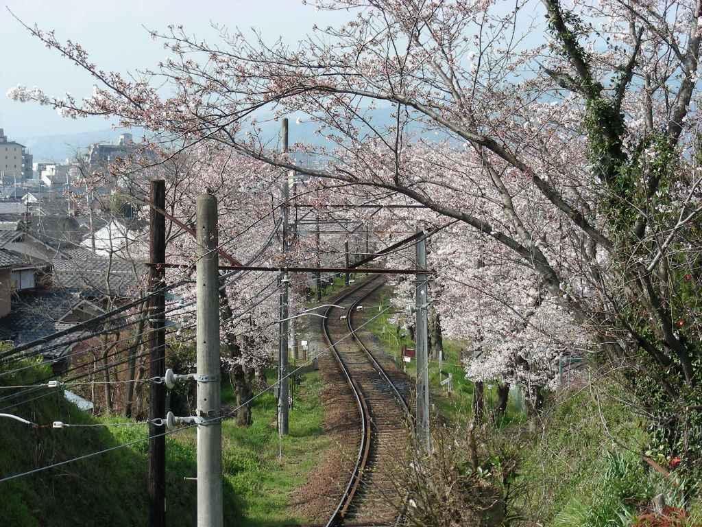 疎水・松ヶ崎・船岡・鳴滝桜 102 - コピー