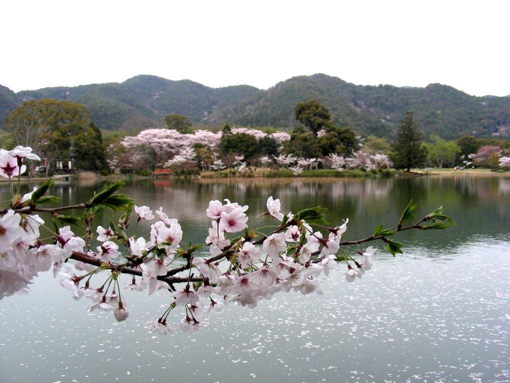 桜大覚寺、二尊院、嵐山 095