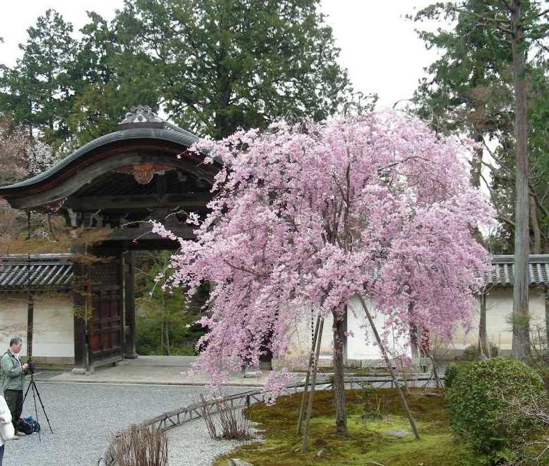 桜大覚寺、二尊院、嵐山 130