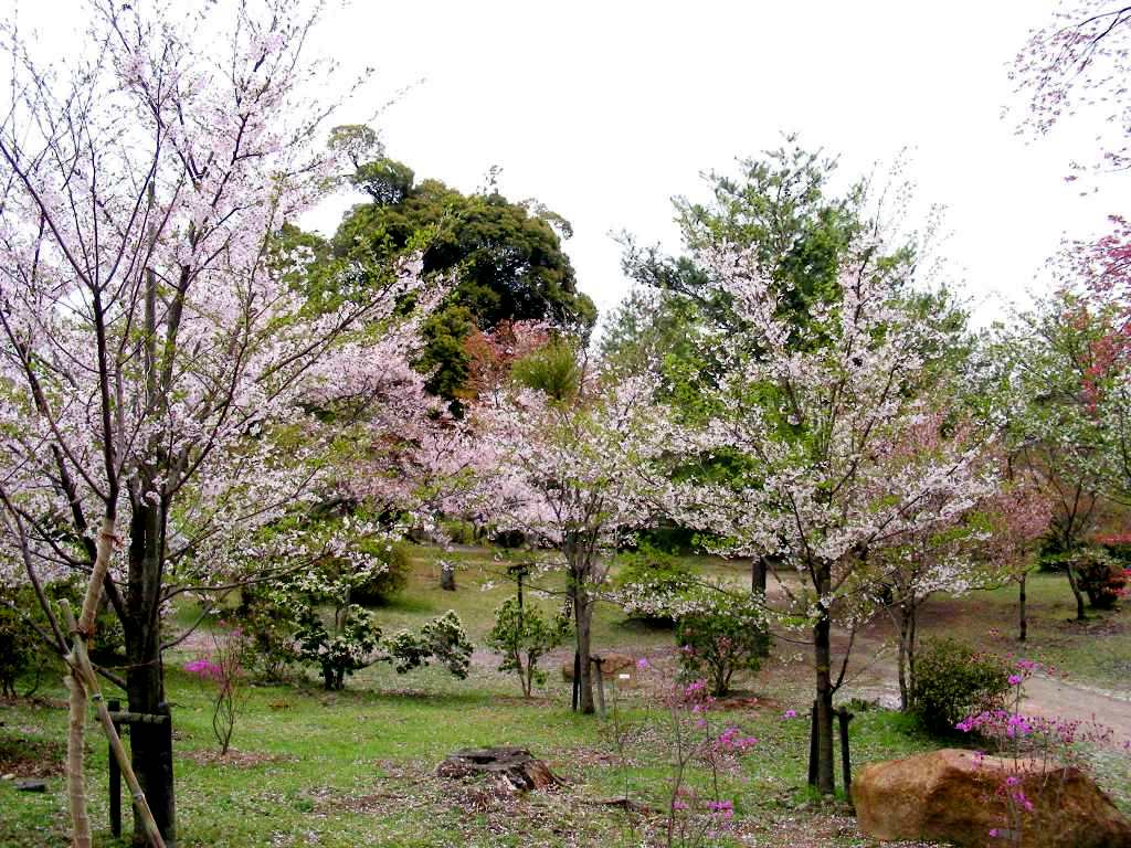 桜大覚寺、二尊院、嵐山 188