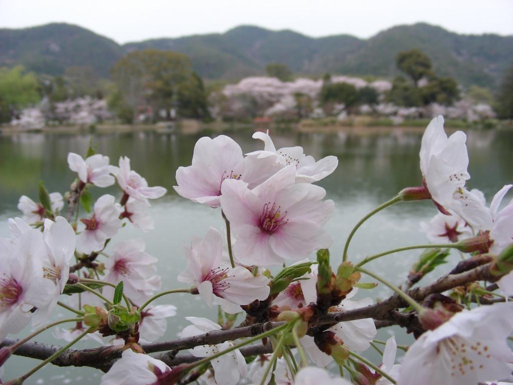 桜大覚寺、二尊院、嵐山 094