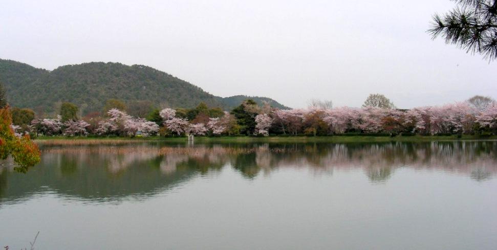 桜大覚寺、二尊院、嵐山 036