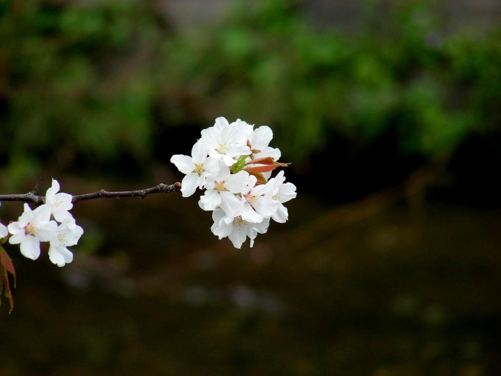 祇園桜 032