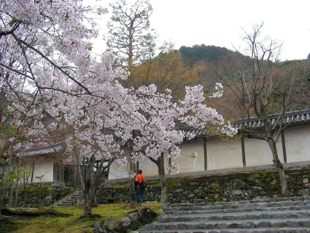 桜大覚寺、二尊院、嵐山 122