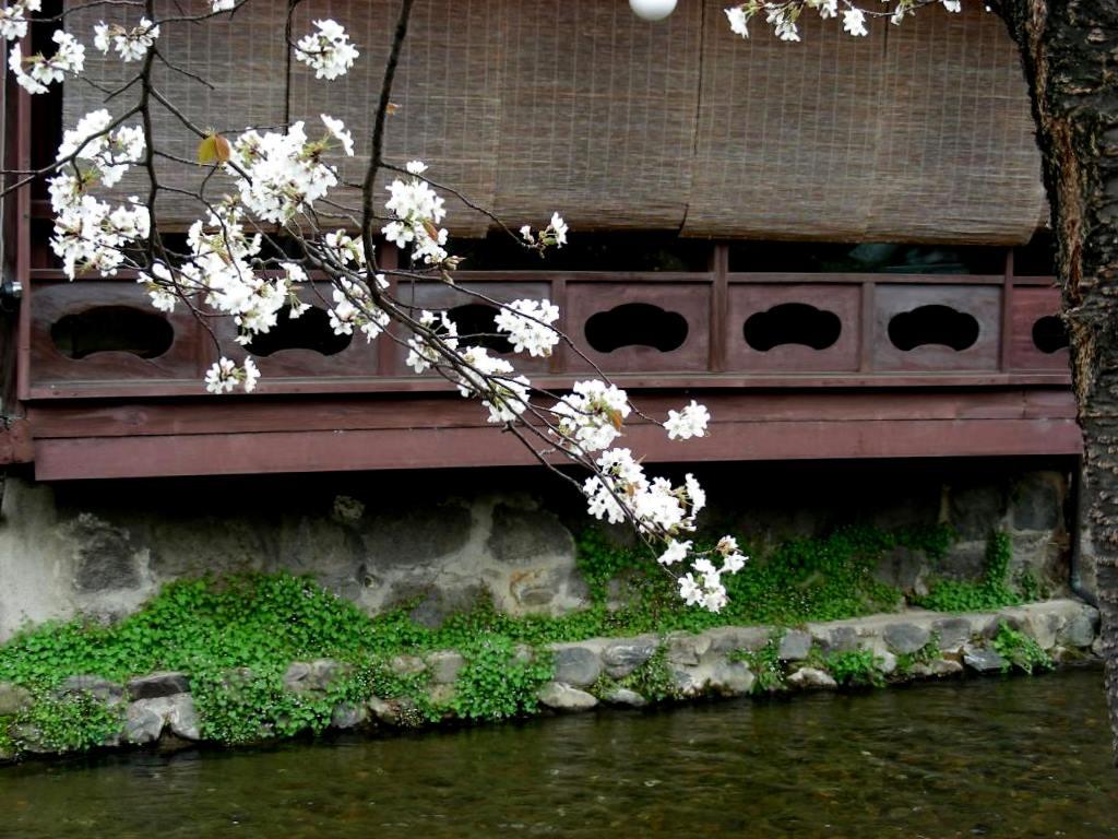 祇園桜 040