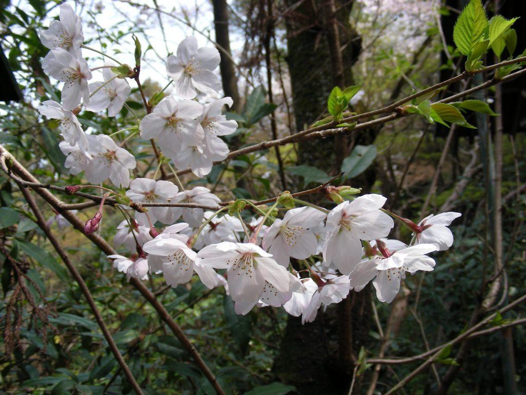 桜・円山、真如、哲学 072