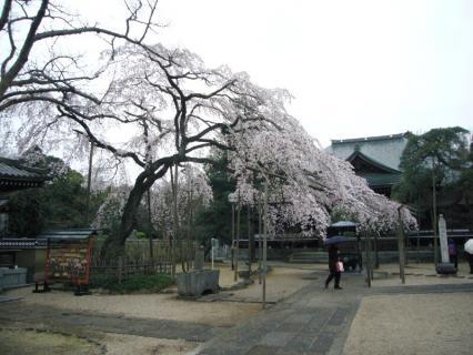 P1020399しだれ桜1