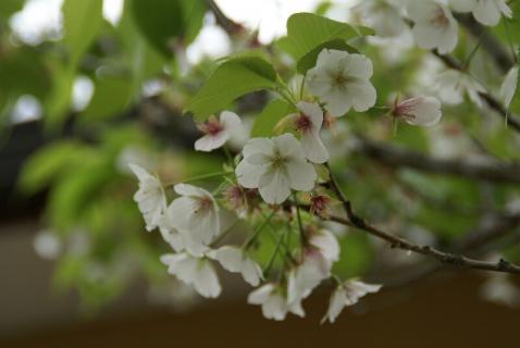 DSC00750桜2