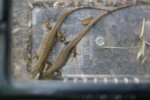 DSC01309カナヘビ2