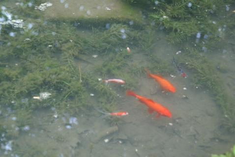 DSC02447金魚3