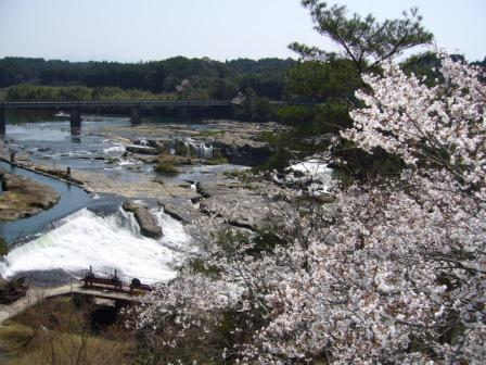 曽木の滝 桜