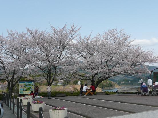 緑川ダムの桜 008
