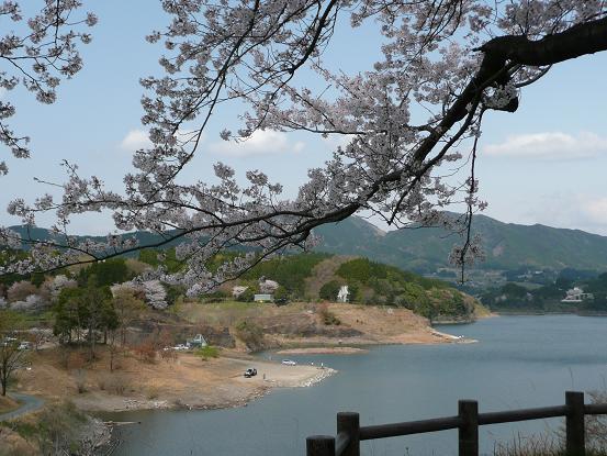緑川ダムの桜 009