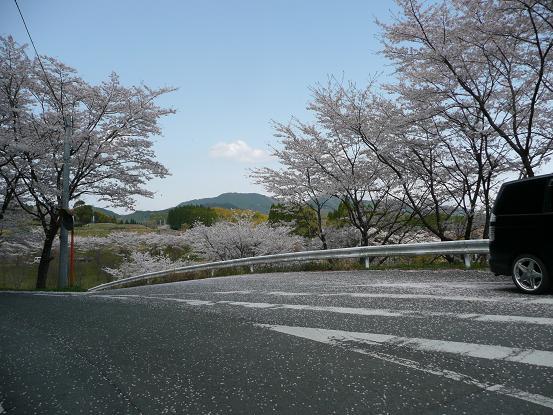 緑川ダムの桜 012