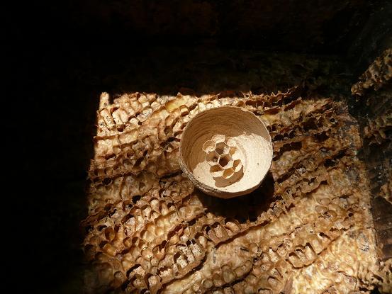 アカバチの一次巣2
