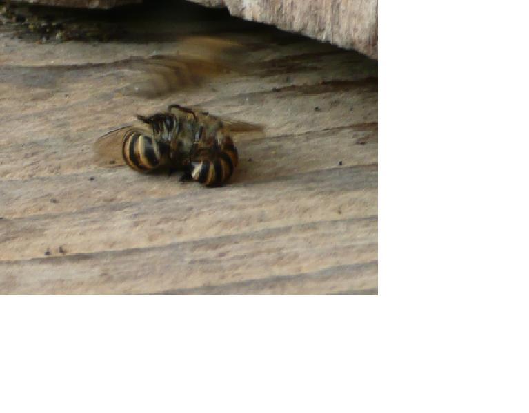 蜂のケンカ