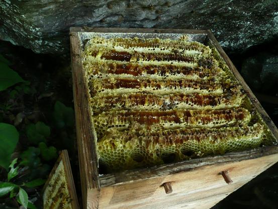 囲トン採蜜1