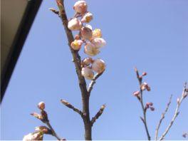 20080321sakura-2.jpg