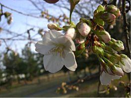 20080405sakura-2.jpg