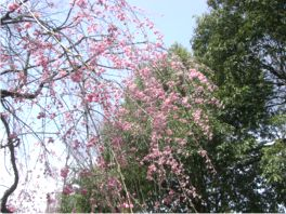 20080411sakura-2.jpg