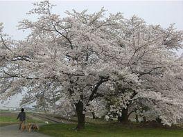 20080413sakura.jpg