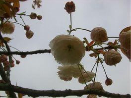 20080422sakura.jpg