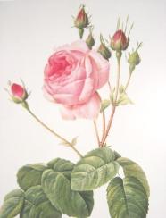 TheRoses-Pierre-Joseph Redoute080501