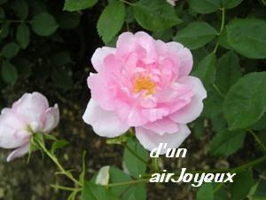 花フェスタ2008コーデリア2