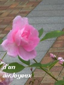 花フェスタ2008コーデリア3