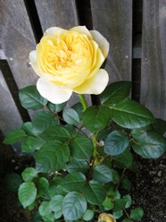 coco.garden_JehanneDarc6