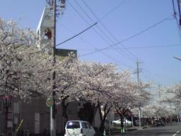 cherry blossoms1