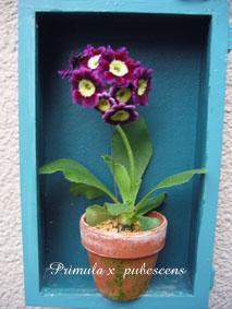 Primula × pubescens3