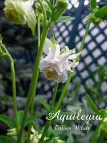 Aquilegia Tower White